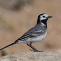 Bergeronnette grise Motacilla alba White Wagtail