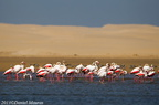 Flamants roses Poenicopterus roseus Greater Flamingo