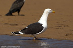 Goéland marin Larus marinus Great Black-backed Gull